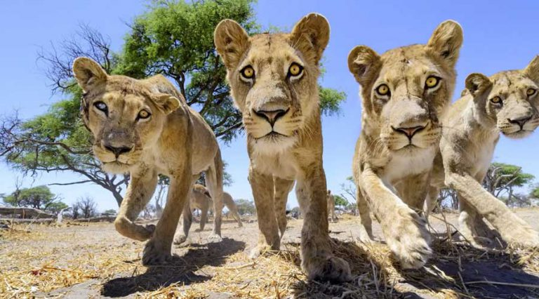 """Car L"" meets the lions. The remote controlled 4x4 camera buggy gets up close and personal as it is stalked by this curious pride of lions in Botswana."